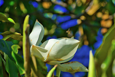 Photograph - Magnolia And The Bee by Robert Brown
