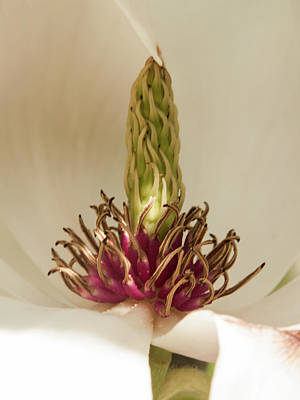Photograph - Magnolia Beauty by Stewart Helberg