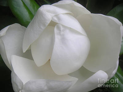 Magnolia Begins Its Blooming Art Print by Lucyna A M Green