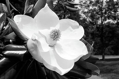 Photograph - Magnolia Bloom- By Linda Woods by Linda Woods