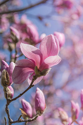 Magnolia Photograph - Magnolia Bloom II by Pamela Williams