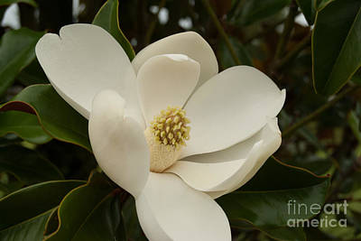 Photograph - Southern Magnolia Bloom by Pamela Williams