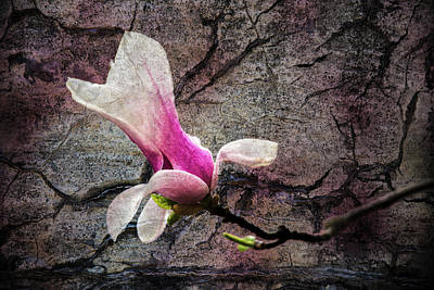 Photograph - Magnolia Bloom by Michael Arend