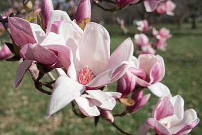 Magnolia Photograph - Magnolia Bloom by Pamela Williams