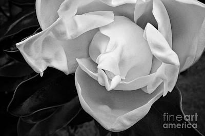 Photograph - Magnolia Bloom by Patti Schulze