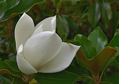 Photograph - Magnolia Bloom by Robert Brown