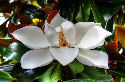 Magnolia Bloom Art Print by Ronda Ryan