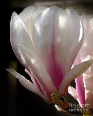 Photograph - Magnolia Bloom by Stephen Melia