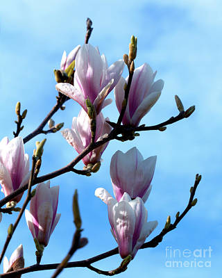 Photograph - Magnolia Blooms by Stephen Melia