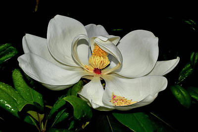 Photograph - Magnolia Blossom 009 by George Bostian