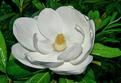 Photograph - Magnolia Blossom 020 by George Bostian