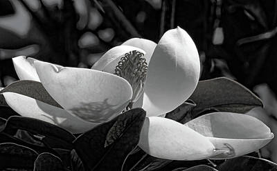 Photograph - Magnolia Blossom B W by HH Photography of Florida