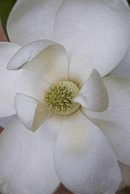 Photograph - Magnolia Blossom by Diane Macdonald