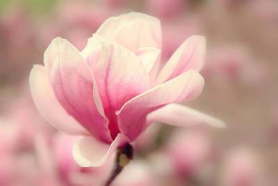 Magnolia Blossom Art Print