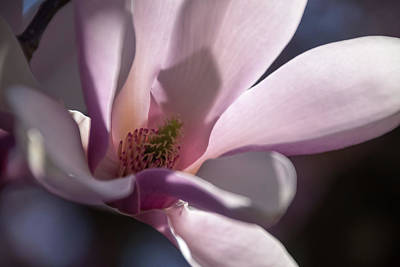 Photograph - Magnolia Blossom - by Julie Weber