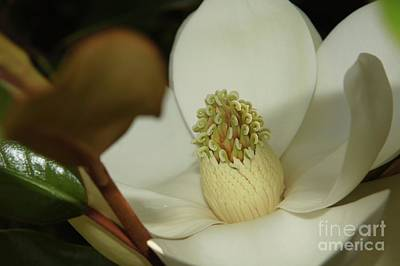 Wall Art - Photograph - Magnolia Blossom by Megan Cohen