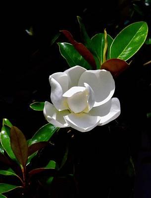 Walter Gantt Wall Art - Photograph - Magnolia Blossom by Walter Gantt