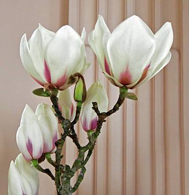Photograph - Magnolia Blossoms  by Jacklyn Duryea Fraizer