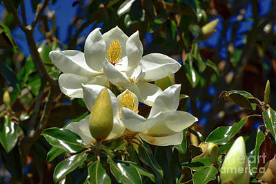 Photograph - Magnolia Blossoms by Kathy Baccari