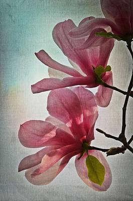 Photograph - Magnolia Blossoms by Marianna Mills