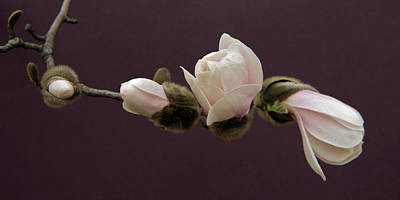 Garden Petal Image Photograph - Magnolia Blossoms by Michael Peychich