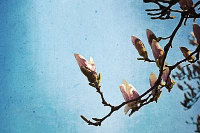 Photograph - Magnolia Blossoms by Michelle Calkins