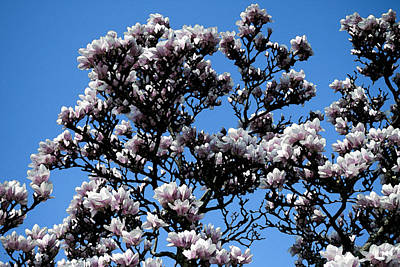 Achieving - Magnolia Blossoms No. 2 by Christopher Purcell