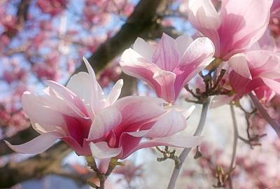 Magnolia Blossoms Art Print by Sandy Keeton