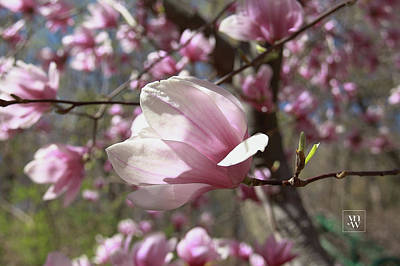 Photograph - Magnolia Blossoms by Yvonne Wright