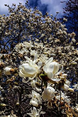 Photograph - Magnolia Blosssoms by Robert Ullmann