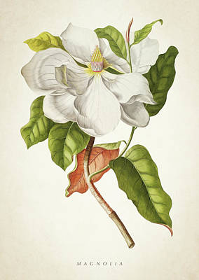 Botanical Digital Art - Magnolia Botanical Print by Aged Pixel