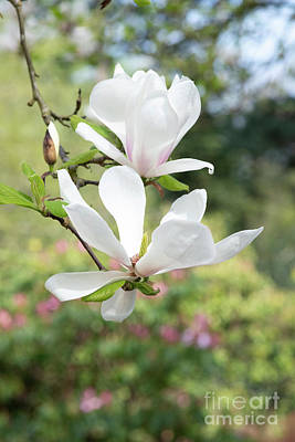 Photograph - Magnolia Brozzoni by Tim Gainey