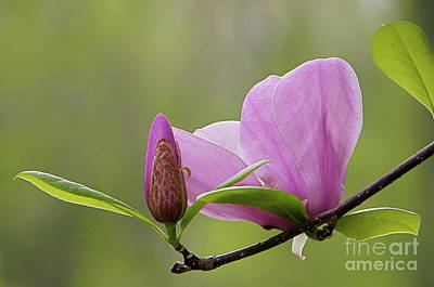 Photograph - Magnolia Bud And Blossom by Byron Varvarigos