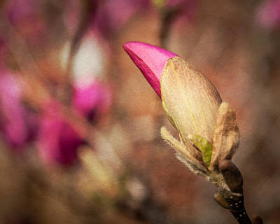 Photograph - Magnolia Bud Artified by David Coblitz