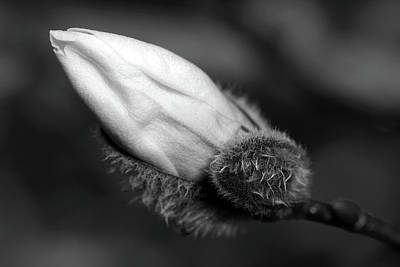 Photograph - Magnolia Bud Black And White by Debbie Oppermann