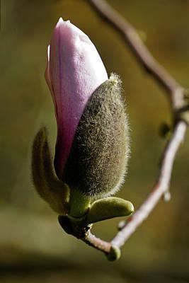 Photograph - Magnolia Bud by Inge Riis McDonald