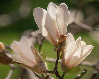 Photograph - Magnolia Bud Trio by Teresa Wilson