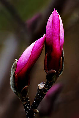 Magnolia Buds Art Print by Kathleen Stephens