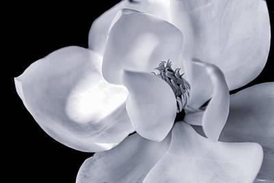 Photograph - Magnolia Bw by Jonathan Nguyen