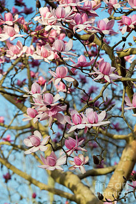 Photograph - Magnolia Campbellii In Spring  by Tim Gainey