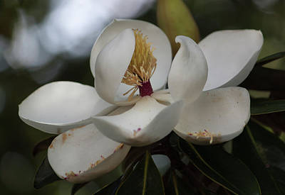 Photograph - Magnolia Dreams by Suzanne Gaff