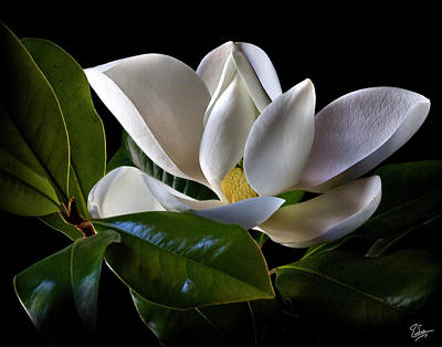 Photograph - Magnolia by Endre Balogh