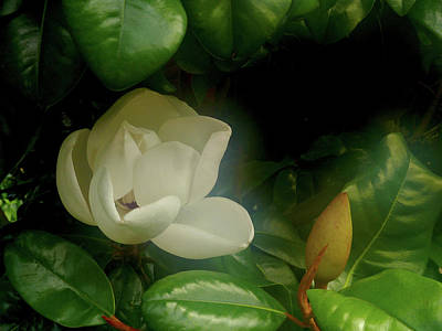 Photograph - Magnolia by Evelyn Tambour