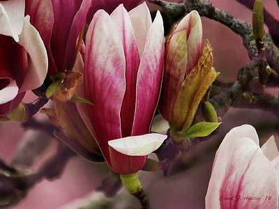 Photograph - Pink Flower Magnolia Floral Wall Art by Carol F Austin