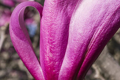 Photograph - Magnolia Flower - Arboretum - Madison Wisconsin by Steven Ralser