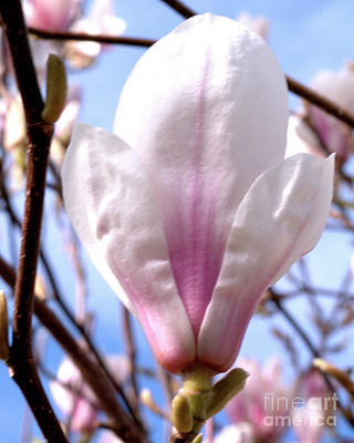 Photograph - Magnolia Flower Bloom by Stephen Melia