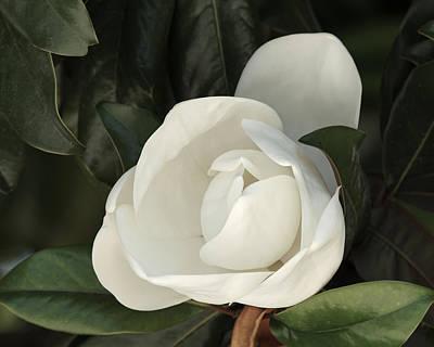 Photograph - Magnolia Flower by Ernie Echols