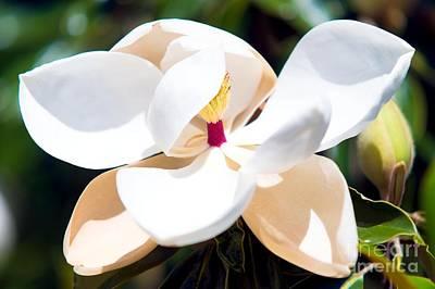 Magnolia Flower Art Print by Michael Baltzgar