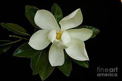 Art Print featuring the photograph Magnolia Flower by Nicola Fiscarelli