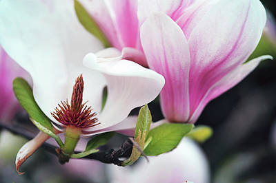 Wilderness Camping - Magnolia Flowers  by Jenny Rainbow